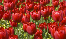 A Field of Red Tulips Stock Images