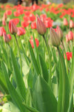 A field of red tulips Royalty Free Stock Images