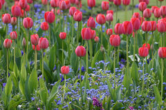 Field of Red Tulips. Red Tulips Above Blue Small Flowers royalty free stock photo
