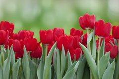 Field Of Red Tulips Stock Images