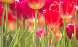 Field of Red Tulips. A low angle view of a field of red tulips.  Shallow depth of field on single tulip Stock Photos