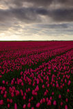 Field of red tulips in against a stormy looking sky, Holland tradition landscape, rainy day Stock Photos