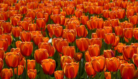 Field of red tulips, backlit Royalty Free Stock Photography