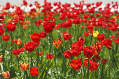 Field of red tulips beautiful Royalty Free Stock Photography