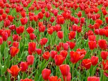A field of red tulips blooming Royalty Free Stock Photos