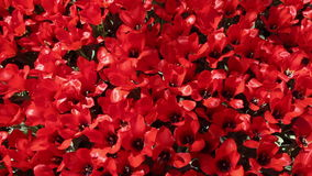 Field of  red  tulips blooming stock footage