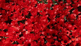 Field of  red  tulips blooming stock video footage