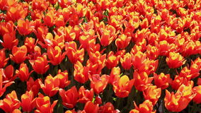 Field of  red  tulips blooming stock video