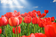 Field of red tulips with blue sky Royalty Free Stock Photography