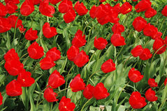 Field with red tulips Royalty Free Stock Photography