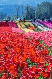A field of red tulips country farm. Big field of red tulips country farm stock images
