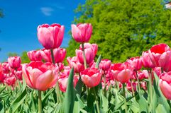 Field with red tulips. On blue sky Stock Image