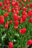 Field of red tulips in full bloom Royalty Free Stock Photos