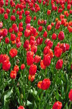 Field of red tulips in full bloom love Royalty Free Stock Photos