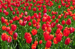 Field of romantic red tulips in full bloom Royalty Free Stock Image