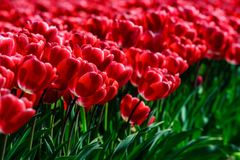 Field of red tulips in Holland , spring time colourful flowers. Keukenhof park royalty free stock photography