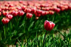 Field of red tulips in Holland , spring time colourful flowers. Keukenhof park stock photo