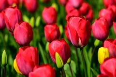 Field of red tulips in Holland , spring time colourful flowers. Keukenhof park royalty free stock photo