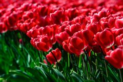 Field of red tulips in Holland , spring time colourful flowers. Keukenhof park royalty free stock image