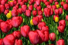 Field of red tulips in Holland , spring time colourful flowers. Keukenhof park royalty free stock photos