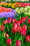 Field of red tulips in Holland , spring time colourful flowers. Keukenhof park royalty free stock images