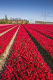 Field of red tulips and a house Stock Photos