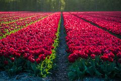 Field with red tulips in late evening light stock photos