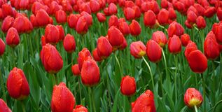 Field of red tulips in morning dew Stock Photo