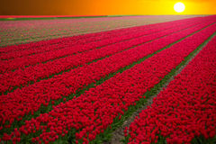 Field with red tulips in the netherlands Stock Photography