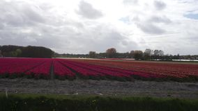 Field with red tulips stock video