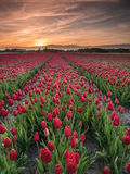 Field of red tulips Royalty Free Stock Image