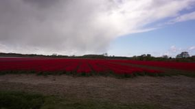 Field with red tulips. Rows with red tulips in the Netherlands stock video footage