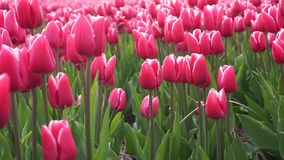 Field with red tulips. Rows with red with white tulips in the Netherlands stock video footage