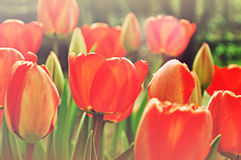 Field of red tulips Royalty Free Stock Images