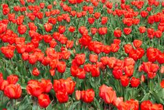 Field of Red Tulips in Spring stock images