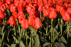 Field of red tulips in sunlight Stock Photography