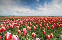 Field with red tulips in sunny day Stock Photography