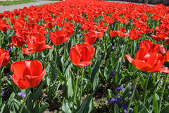 Field of red tulips on their last days. Red tulips on their last days in the field on a sunny day stock photo