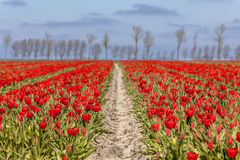 Field of red tulips Royalty Free Stock Photography