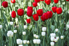 Field of red tulips and white Royalty Free Stock Image