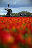 Field of red tulips with windmill in against a stormy looking sky, Holland tradition landscape, rainy day Holland, Netherlands Stock Photography