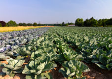Field with Red and White Cabbage. (lat. Brassica oleracea Stock Photos
