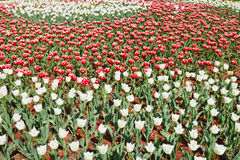 Field of red and white decorative tulip flowers Stock Photography