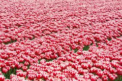 Field red white tulips Stock Photos