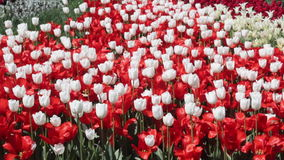 Field of red and white  tulips blooming stock video