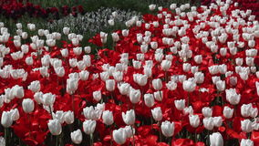 Field of red and white  tulips blooming stock video footage