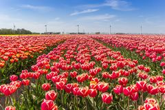 Field of red and white tulips in Flevoland Royalty Free Stock Photos