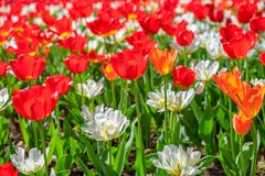 Field of Red and White Tulips Flowers, Toronto, Canada Stock Photography