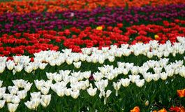 Field of red and white tulips stock photos