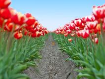 Field red white tulips in Netherlands Royalty Free Stock Photography